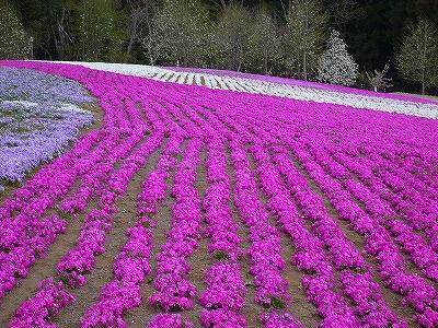 帰宅途中、芝桜を見に羊山公園へ寄り道しました