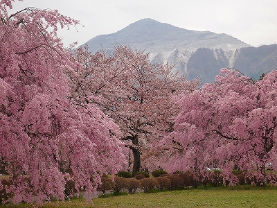 羊山公園は枝垂れ桜もキレイでした