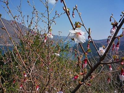 芦ノ湖へくだる途中、マメザクラが咲いていました