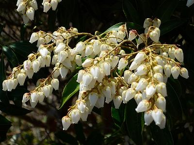 稜線で咲いていたドウダンツツジのような白い花