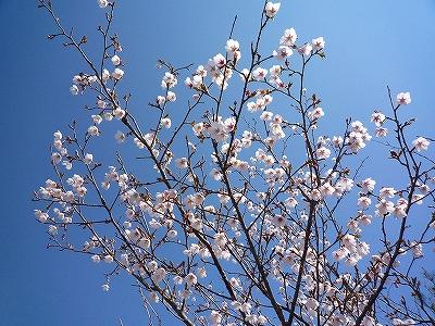 芦ノ湖の湖岸付近ではマメザクラが綺麗に咲いていました