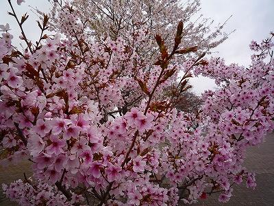 山頂の桜は満開でした