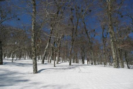 下山途中のブナ林