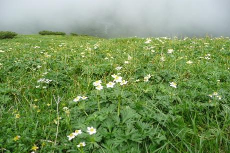 ハクサンイチゲのお花畑
