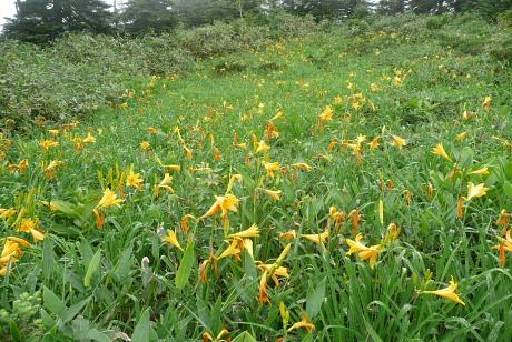 ニッコウキスゲのお花畑