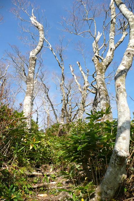 冬枯れのブナ並木