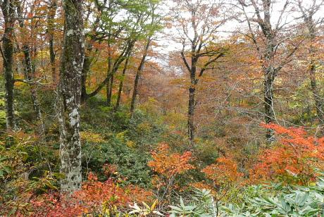 ブナの大木がある森