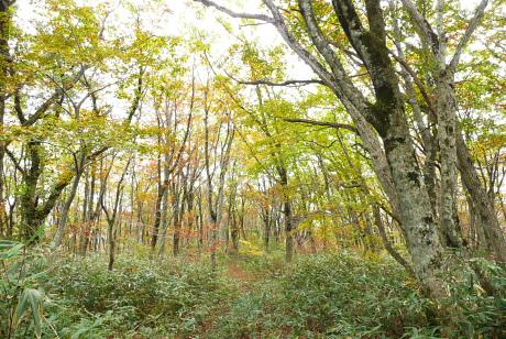 ブナが密生する森
