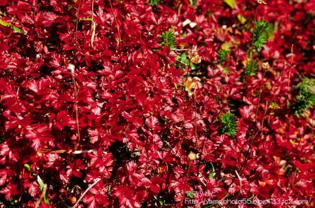 真っ赤な草紅葉