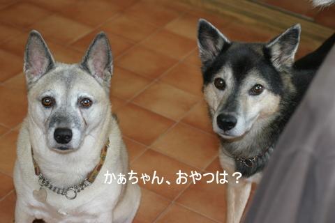 犬たち 30031