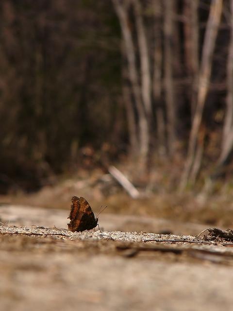 ヒオドシチョウ1