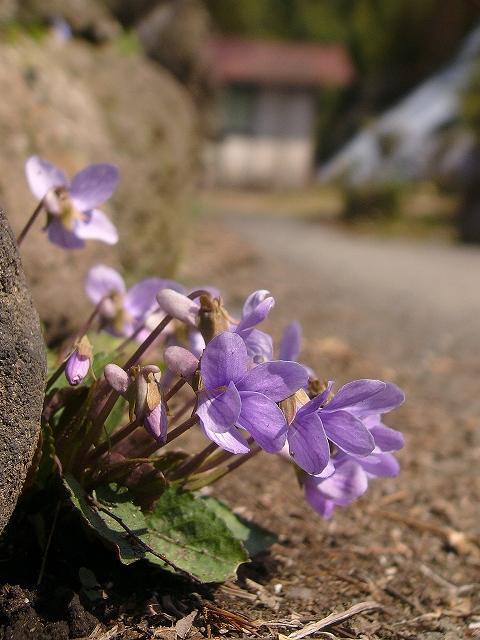 a-kosumire3.jpg