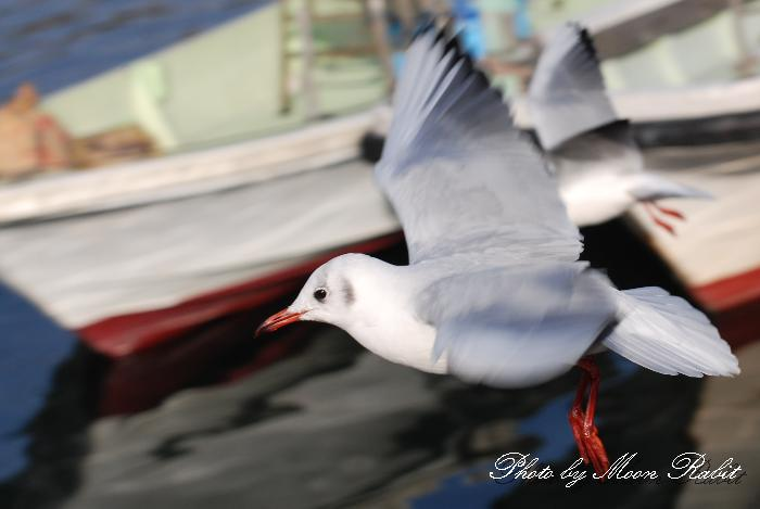 西条市の野鳥 西条漁港 カモメ(鴎) 愛媛県西条市北浜南