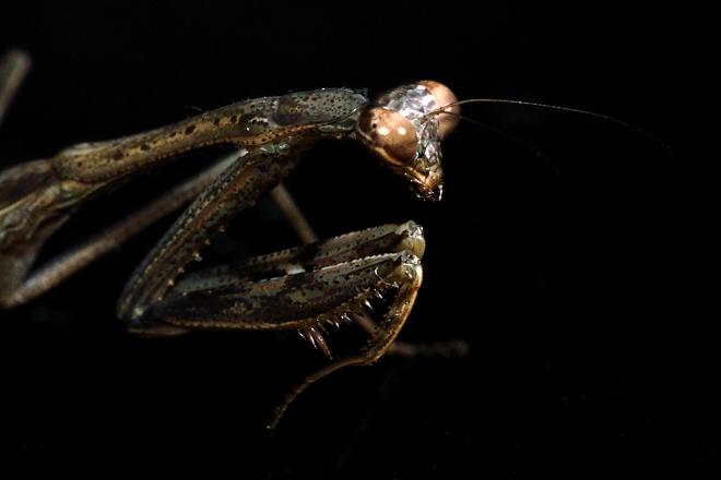 コカマキリの幼虫2