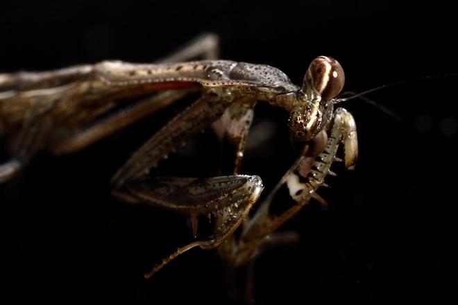 コカマキリの幼虫3
