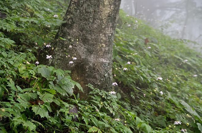 木とレンゲショウマ