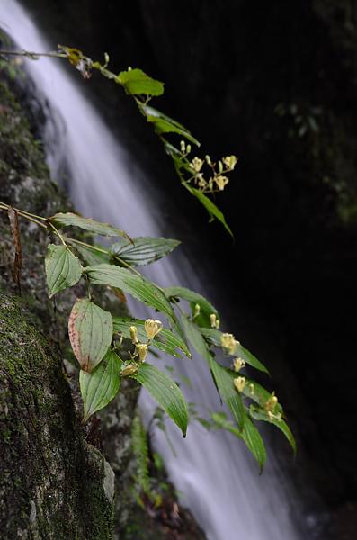 タマガワホトトギスと滝1