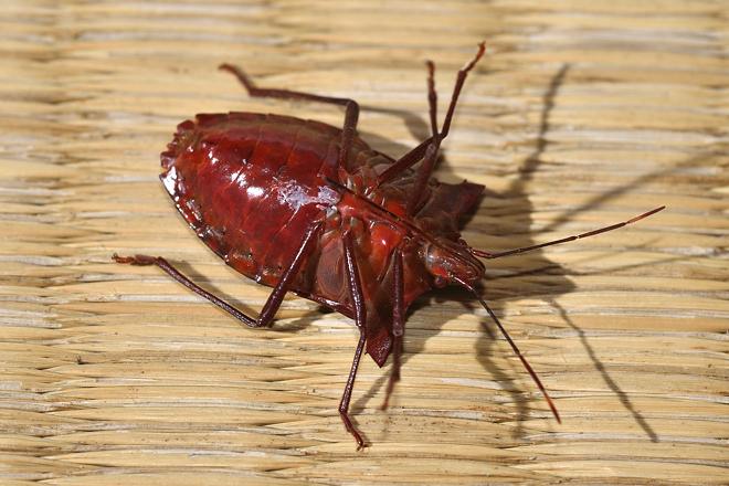 ツノアオカメムシの赤い腹面