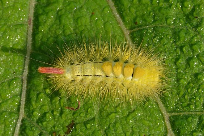 リンゴドクガ幼虫2