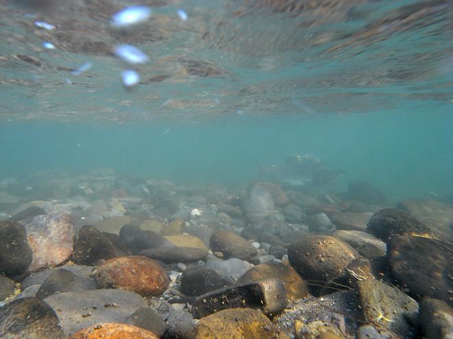 カラフトマス水中撮影失敗
