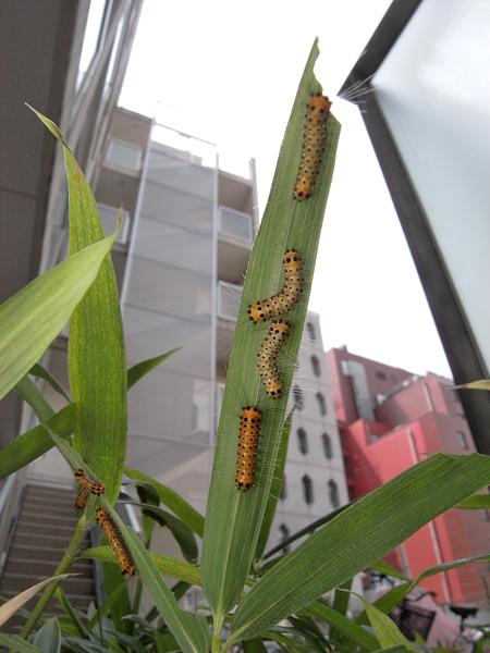 タケノホソクロバ幼虫3