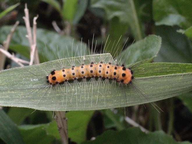 タケノホソクロバ幼虫1