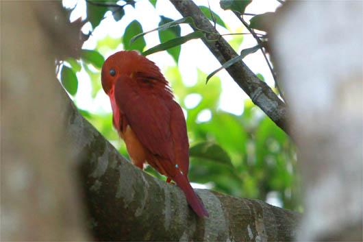 アカショウビンの羽づくろい…|西表島
