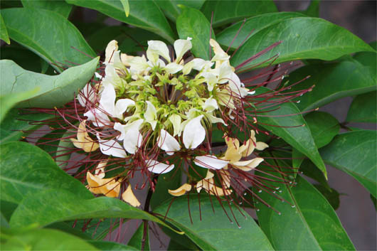 エギ/ルアーを作る木(ギョボクの花)|西表島