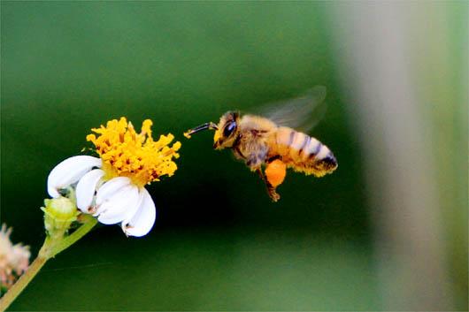 ミツバチ|西表島