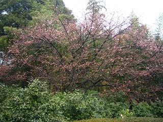 kanzakura100306-202