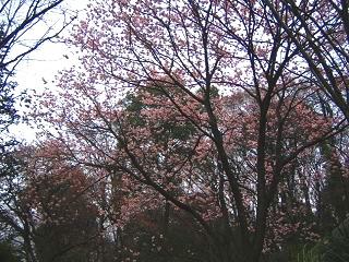 kanzakura100306-207