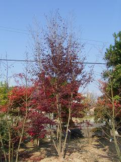 ヒメシャラ紅葉