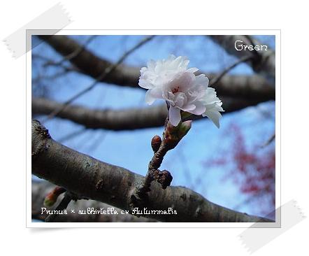 350fuyusakura91120d1.jpg