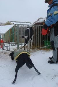 八ヶ岳 滝沢牧場 牛