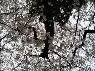 代々木桜3