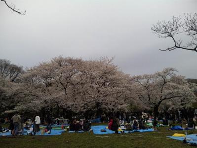 代々木桜2