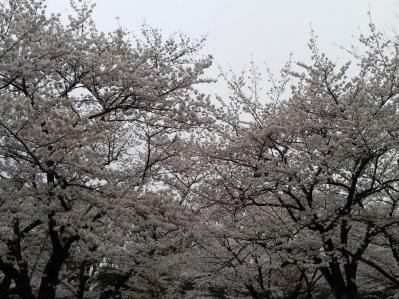 代々木桜1