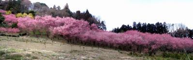 大内沢の花桃