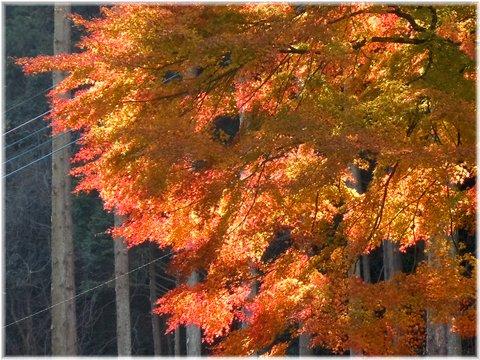 何でもない木の紅葉アップ