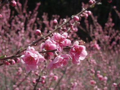 桃がきれいです@大内沢