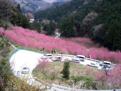 こんなところでも、渋滞です@大内沢の花桃