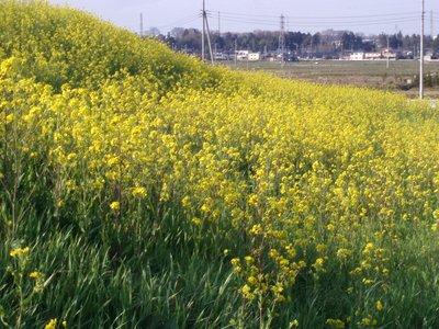 菜の花もあちこちに@2010年春