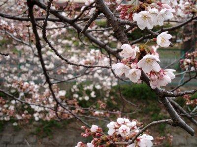 いよいよ2010年の桜ですね