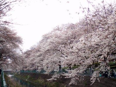 東坂戸団地の桜