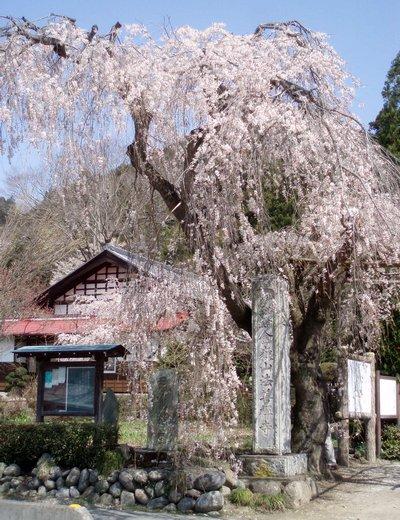 2010年 法善寺の枝垂れ桜