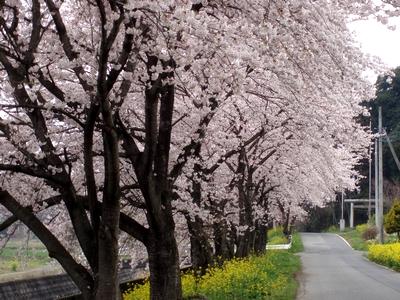 桜並木@高見地区 市ノ川沿い