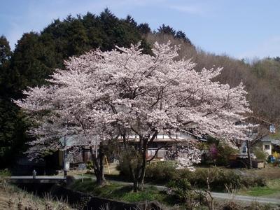 軒先に桜がある民家って