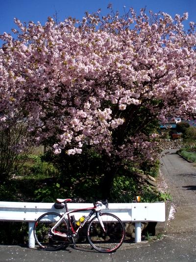 桜も八重桜の季節