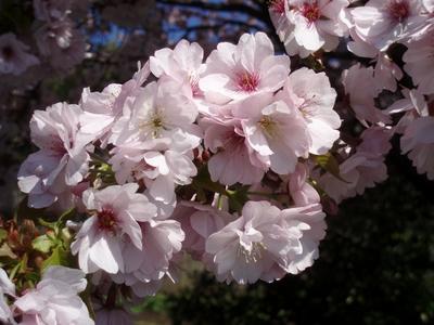 八重桜はボリュームありますなぁ