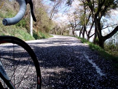 山では桜の絨毯